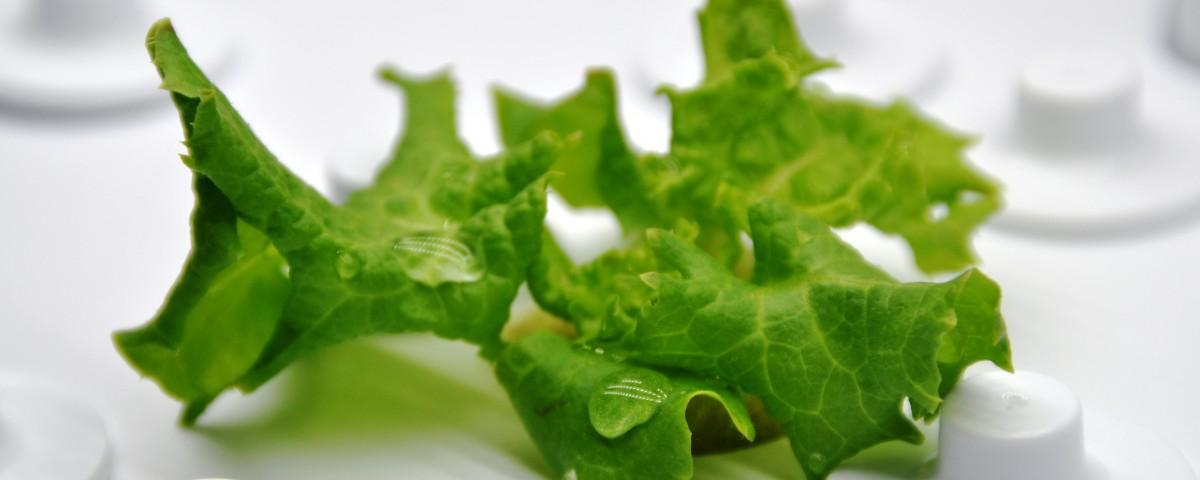 Sałata rosnąca w hydroponicznej szklarni Green Farm