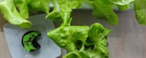zioła na koncentrację, sałata, kwas foliowy