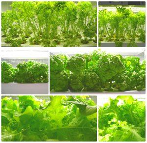 Green Farm domowe uprawy hydroponiczne