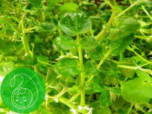 Green Farm hydroponiczna uprawa rukwi liście