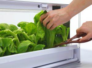Green Farm hydroponiczna uprawa sałaty w mieszkaniu