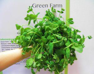 Green Farm - plon mięty w domowej uprawie