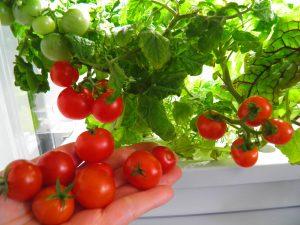 Uprawa pomidorów koktailowych w Green Farm mini