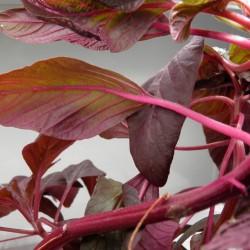 amarantus, hydroponika, liście amarantusa, green farm